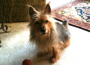 Australian Terrier Bentley