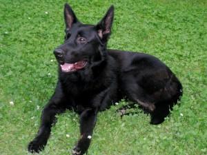 Beautiful Black German Shepherd Dog, not Koma