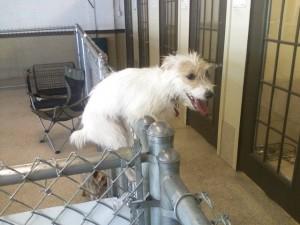 Jack Russell terrier, Crisco