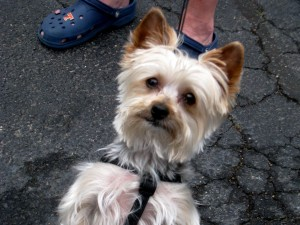 Yorkshire Terrier, Cody