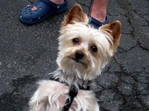 Yorkshire Terrier, Cody