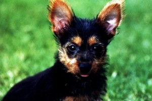 Australian Terrier Puppy, Bentley