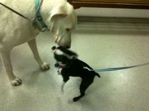 200 lb. Deaf Great Dane, George, & Oreo the Boston Terrier