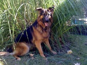 German Shepherd Dog, Ellie