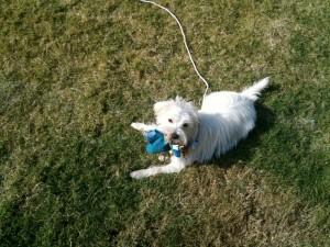 Peyton Terrier